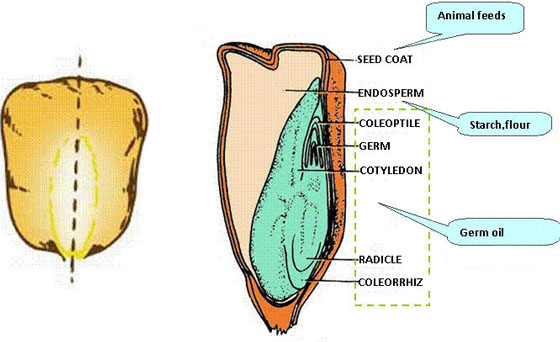 inner structure of maize seeds